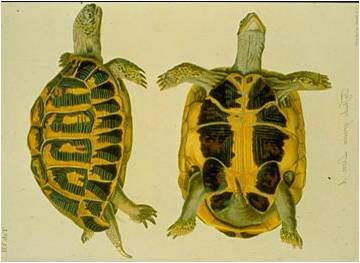 Life_tortue_hermann_41_illustration_Schoepff.jpg