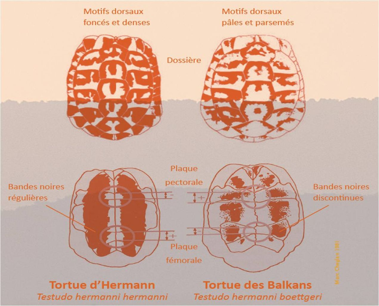 Life_tortue_hermann_81_difference_sous_espece_hermanni_boettgeri.jpg