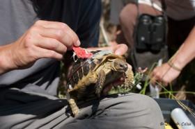 Equipement d'une tortue pour les suivis effectués dans le cadre du programme Life